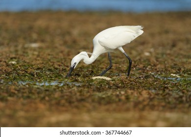 Zanzibar's Dimorphic Egret  Egretta dimorpha, wading bird on hunt during low tide. White plumage variant, long bill and legs, uncovered coral reef lit by afternoon sun, dark ocean in background.