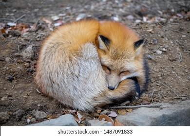 Zao, Japan - November 2016: Wild foxes seen at Zao Fox Village
