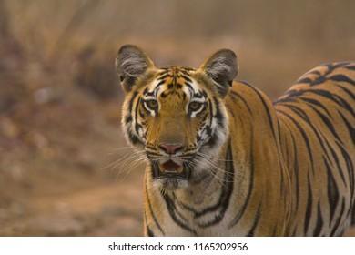 Zara Tiger, Panthera tigris tigris, Tipeshwar Wildlife Sanctuary, Maharashtra