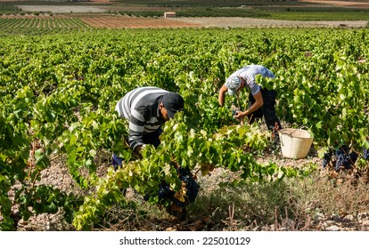 ZARAGOZA - OCT 6: Harvest of the Grenache grape in Munebrega (Zaragoza, Spain) in October, 2014 This year is expected to one of the best vintages of the decade.