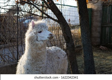 Zaton Obrovački/Croatia - 1/21/2020. White curly alpaca llama with overgrown untrimmed teeth in small zoo