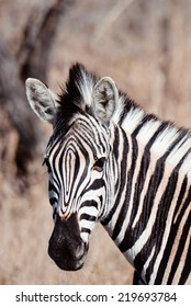 Zebra in the African Bush