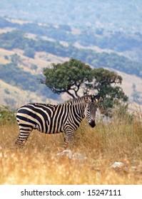 Zebra in Akagera NP, Rwanda