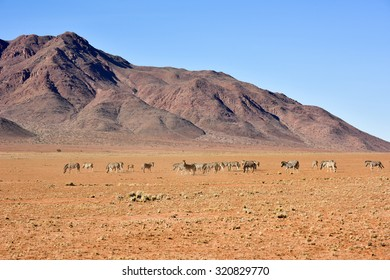 Zebra along the desert landscape in the NamibRand Nature Reserve in Namibia.