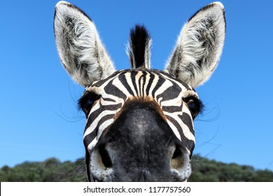 Zebra, animal, portrait, wildlife