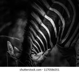 Zebra Art Stipes