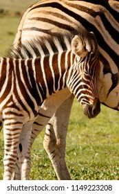 Zebra baby rubbing her head against her mom in the field