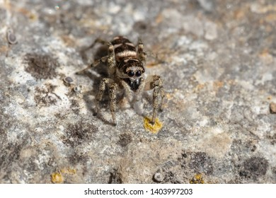 Zebra back spider (Salticus scenicus), a common jumping spider, sitting on a rock wall