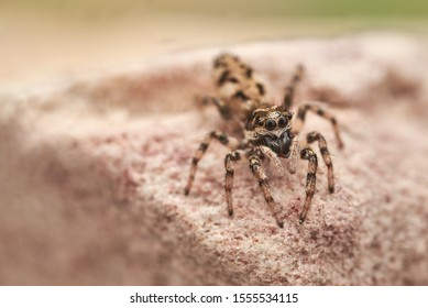 The zebra back spider (Salticus scenicus) is a common jumping spider of the Northern Hemisphere. Like other jumping spiders it does not build a web