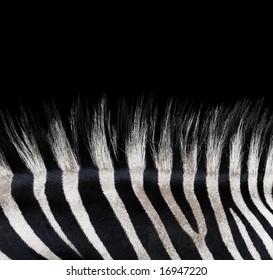 Zebra background