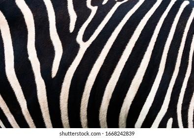 Zebra background. Zebra skinning pattern.