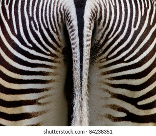 zebra behind