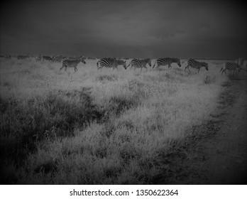 Zebra Black and White Photo