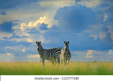 Zebra with blue storm sky. Burchell's zebra, Equus quagga burchellii, Nxai Pan National Park, Botswana, Africa. Wild animal on the green meadow. Wildlife nature.