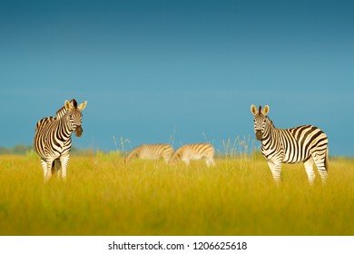 Zebra with blue storm sky. Burchell's zebra, Equus quagga burchellii, Nxai Pan National Park, Botswana, Africa. Wild animal on the green meadow. Wildlife nature. Two zebras in wild Africa.