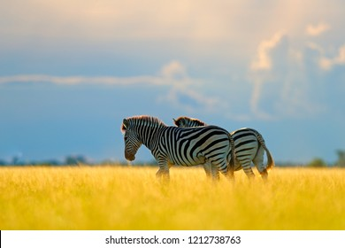 Zebra with blue storm sky. Burchell's zebra, Equus quagga burchellii, Nxai Pan National Park, Botswana, Africa. Wild animal on the green meadow during sunset. Wildlife nature, beautiful evening light.