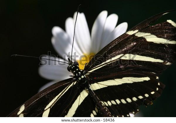 A zebra butterfly