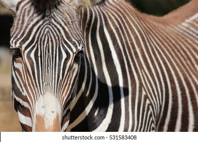 Zebra Close Up, Front Portrait
