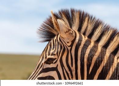 Zebra close-up in Addo Elephant National Park, South Africa
