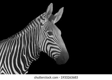 Zebra Closeup Face On Black Background