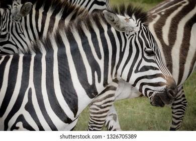 Zebra closeup on safari texture background