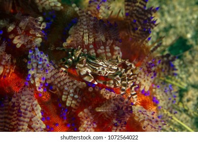 Zebra crab (Zebrida adamsii) on a fire urchin. Picture was taken in the Banda sea, Ambon, West Papua, Indonesia
