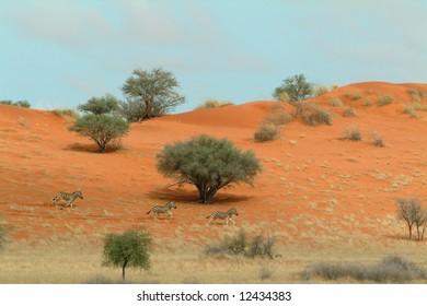 Zebra Crossing (Equus burchelli) crossing the red sand of the Kalahari wilderness in Namibia