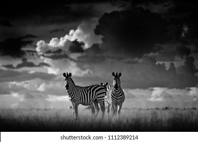 Zebra with dark storm sky. Burchell's zebra, Equus quagga burchellii, Nxai Pan National Park, Botswana, Africa. Wild animal on the grass meadow. Black and white Africa.