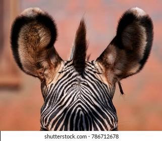 zebra in detail - texture close up