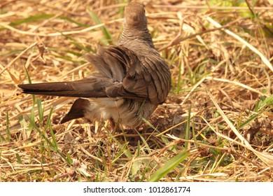A zebra dove (Geopelia striata) foraging for food on the ground,