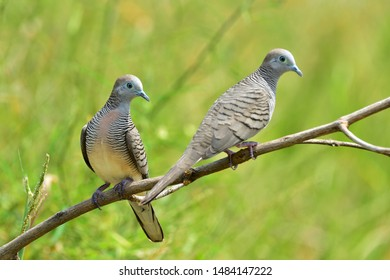Zebra Dove Images, Stock Photos & Vectors | Shutterstock