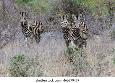 Zebra eating grass in flield