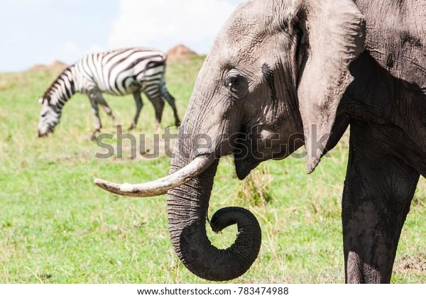 Zebra and elephan on a grassy hill in the Maasai Mara reserve in Kenya