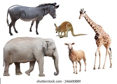 A Zebra, Elephant, Sheep, Kangaroo and Giraffe Isolated