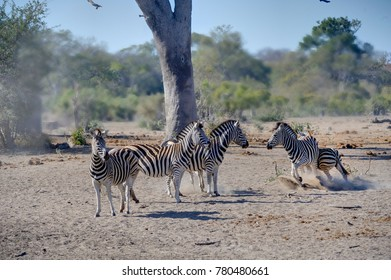 ZEBRA (Equus burchelli) startle on approach to a waterhole, Talamati, Kruger National Park,