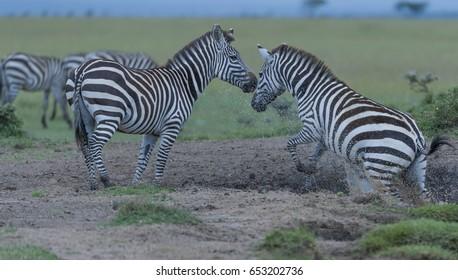 Zebra, (Equus quagga), jumping from waterhole, causing sand and water to rise, another zebra looks on, Masai Mara, Kenya, Africa