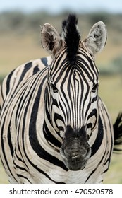 a zebra face from the front looking directly ahead.