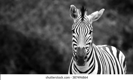 Zebra facing the camera for a portrait on the right side