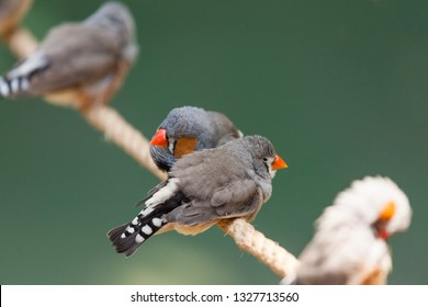 A zebra finch couple cuddle together on a rope perch while other birds sit farther away.