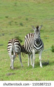 Zebra foal feeding on pregnant mare in the wild in South Africa