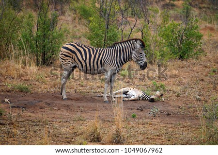 Zebra and Foal at Kruger National Park in South Africa
