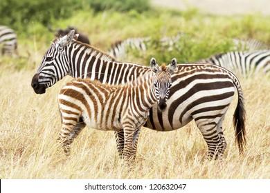 Zebra foal with mother on the Masai Mara in southwestern Kenya.