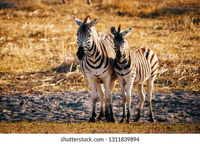 Zebra with foal at sunset, Makgadikgadi Pans National Park, Botswana