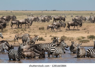 Zebra and  Gnu in Serengeti African safari