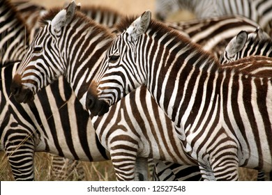 Zebra in the grass of the Masai Mara Reserve (Kenya)