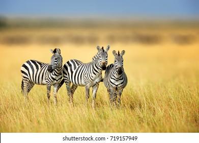 Zebra in the grass nature habitat, National Park of Kenya. Wildlife scene from nature, Africa