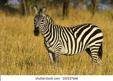 Zebra in the grasslands of the Serengeti at dawn, Tanzania, East Africa