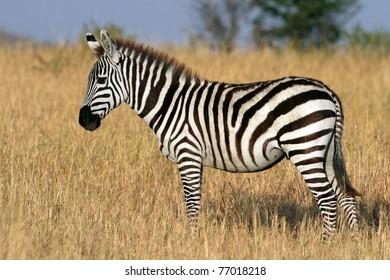 Zebra in the grasslands of the Serengeti National Park, Tanzania, East Africa