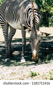 zebra grazing in the enclosure