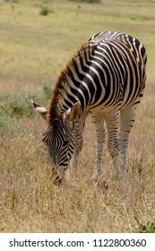 Zebra grazing in the field full of long grass